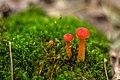Baby red mushroom, Killbear Provincial Park.jpg