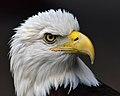 Bald eagle head 2019-07-13 - 1.jpg