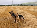 Ballyfatten Barley Field Guards - geograph.org.uk - 306267.jpg