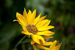 English: A picture of a Balsamorhiza sagittata...