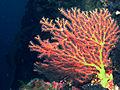 Bamboo Coral, Bunaken Island.jpg