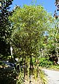 Bambusa vulgaris 'Wamin Striata' - Naples Botanical Garden - Naples, Florida - DSC09844.jpg