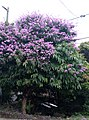 Banaba tree beautiful flowers.jpg