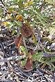 Banksia aculeata-1.JPG