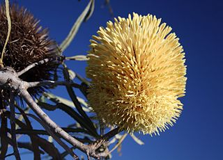 <i>Banksia lindleyana</i> Species of shrub in the genus Banksia