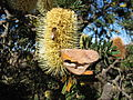 Banksia marginata tree butterfly bee IRL.JPG