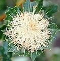 Banksia sessilis inflorescence after anthesis.jpg