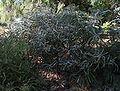 Banksia victoriae.jpg