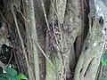 Banyan 03 in Tirtagangga by Line1.jpg