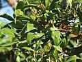 Barbuzano hojas.JPG