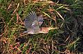 Bare-throated Tiger-Heron (6900671220).jpg