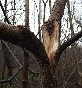 Tree fork - A junction with included bark that failed in storm conditions, growing on a hazel tree (Corylus avellana)