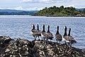 Barnacle Geese (5888056045).jpg
