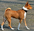 Basenji Profile (cropped).jpg