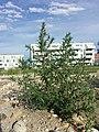 Bassia scoparia subsp. densiflora sl39.jpg