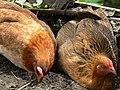 Batad chickens (3298941639).jpg