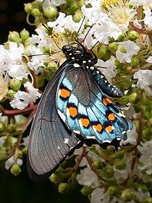 Battus philenor - Wikipedia