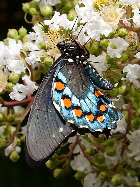 battus philenor  pipevine swallowtail butterfly   papilio