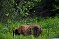 Bear! Highway 99 Cache Creek - Lillooet - Pemberton (4765503440).jpg