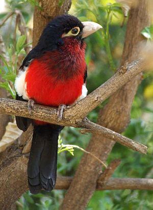 African barbet - Double-toothed barbet Lybius bidentatus