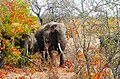 Beautiful elephants in autmn colors.jpg