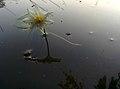 Beautiful flower on water.jpg