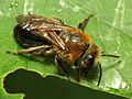 Bee (14423147143).jpg