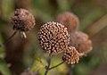Bee balm seedhead (70424).jpg