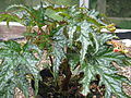 Begonia probably U614, originally sold as sikkimensis (20467383866).jpg