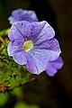 Belgium-6307 - Flower....... (14079277865).jpg