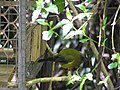 Bellbird on feeder.jpg