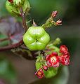 Bellyache Bush (Jatropha gossipifolia) in Hyderabad, AP W IMG 9378.jpg