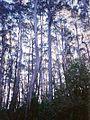 Bemboka River Eucalyptus.jpg