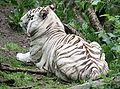 Bengal Tiger 059.jpg