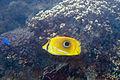 Bennett's butterflyfish Chaetodon bennetti (eclipse butterflyfish) (5822468044).jpg
