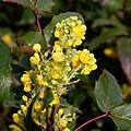 Berberis aquifolium-Mahonia faux houx-Fleurs-20210308.jpg