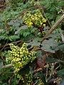 Berberis aquifolium 114931033.jpg