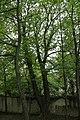 Bergahorn, Rodaun 01.JPG