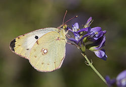 Berger's Clouded Yellow - Colias sareptensis 03.jpg