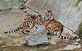 Berlin Tierpark Friedrichsfelde 12-2015 img22 Siberian tiger.jpg