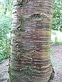Betula alleghaniensis 01 by Line1.jpg