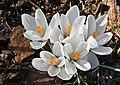 Bialy krokus wiosna slupsk.jpg