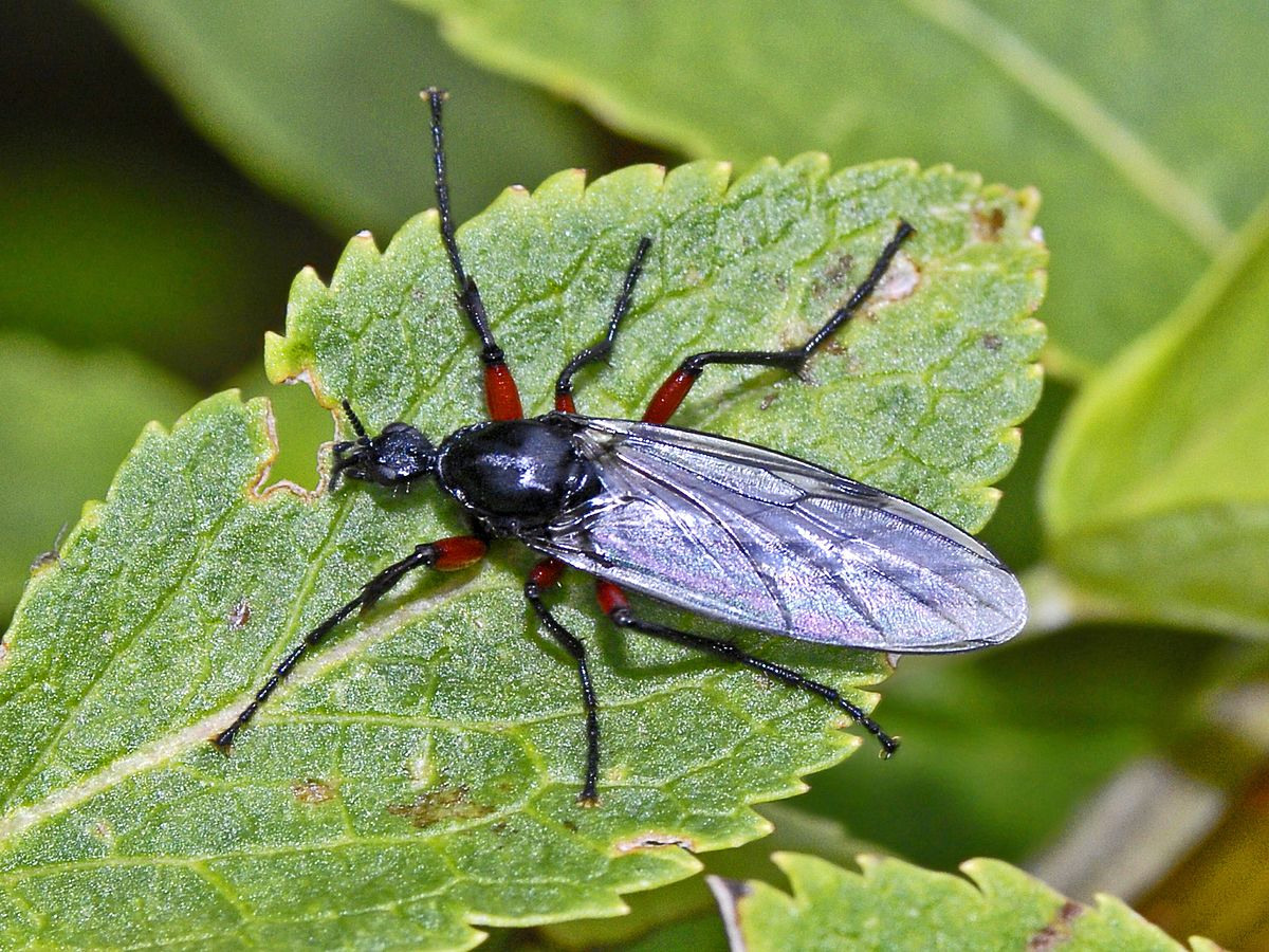 1200px-Bibionidae_-_Bibio_pomonae_female.JPG