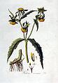 Bidens cernua — Flora Batava — Volume v3.jpg