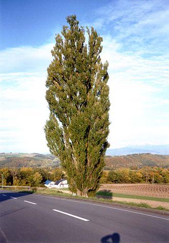 Biei, Hokkaido - Image: Biei tree 2 2003