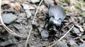 Big ol' ground beetle (5979993150).png