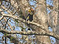 Bird Great Hornbill Buceros bicornis at nest DSCN9018 19.jpg