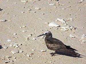 Bird in Nosy Fanihi (Isola dei pipistrelli) - Madagascar.jpg