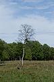 Birke im Dosenmoor.jpg