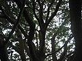 Bischofia javanica Blume (AM AK316949-5).jpg
